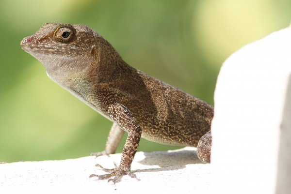 Anolis_cristatellus_in_Picard,_Dominica-2012_02_15_0357