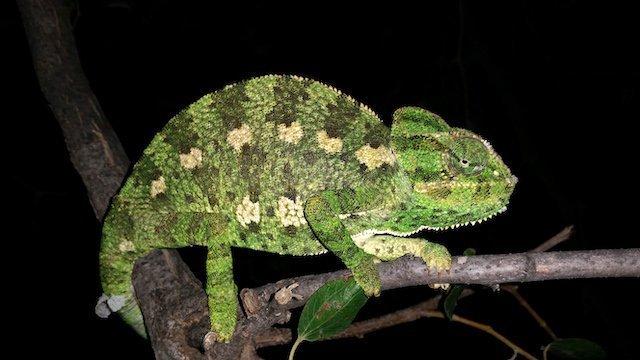 Chameleon chamaeleon