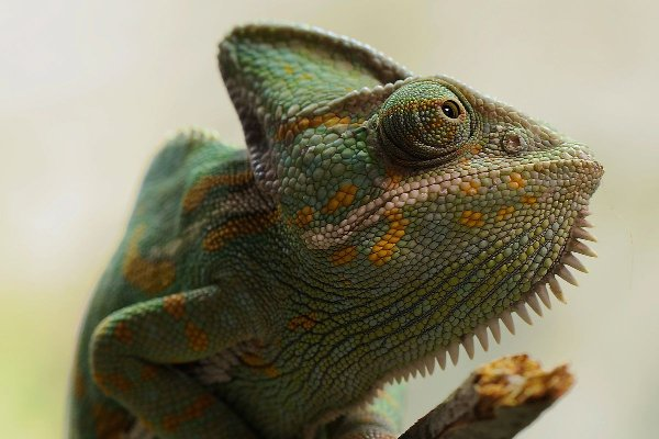 chameleon.small-post-image