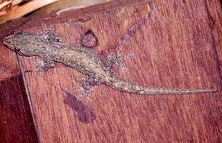 hemidactylus_frenatus