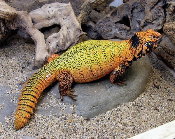 moroccan-uromastyx3