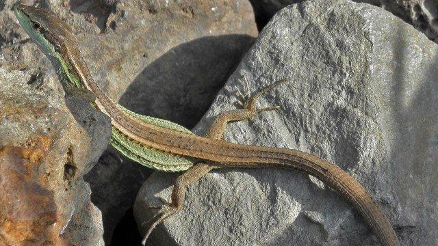Takydromus septentrionalis